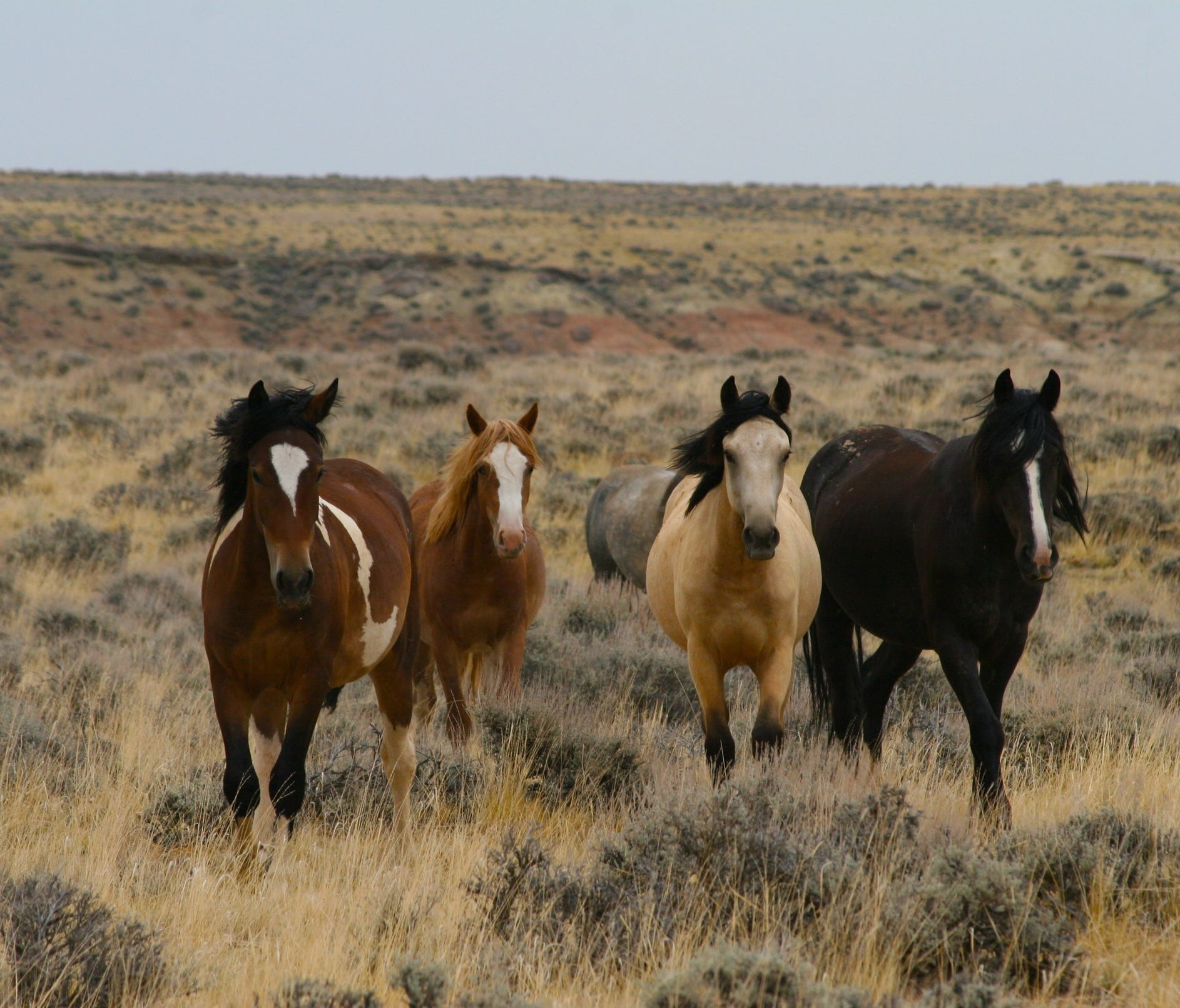 Legend says that the mustangs roaming the McCullough Peaks near Cody, Wyo. are descendants from  Buffalo Bill's Wild West Show.