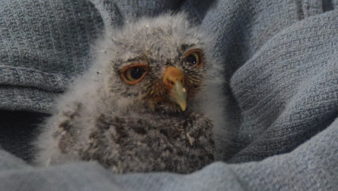 This baby owl was treated at the Conservancy of Southwest Florida and was then put back in the nest box so its parents could continue to care for it.