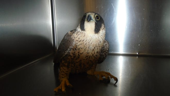 A peregrine falcon was found on the campus of James Workman Middle School Thursday morning. The bird will be taken to the Coachella Valley Wild Bird Center in Indio.