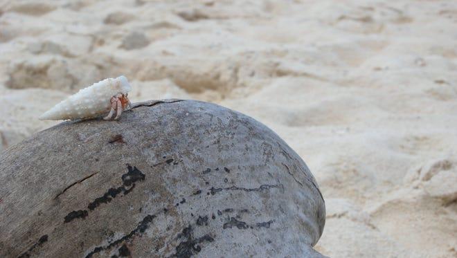 Hermit crab at Ritidian Beach.