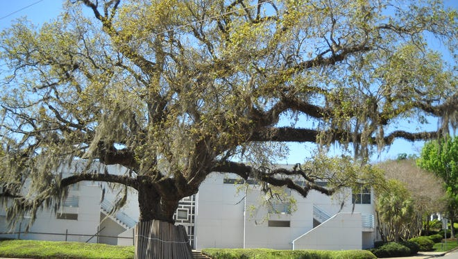 This spreading oak, at the corner of Gaines and Meridian, adjacent to Cascades Park, is believed to be the tree used to lynch black men in 1897 and 1909. The building in the background was the site of the Leon County Jail from 1888 to 1966.