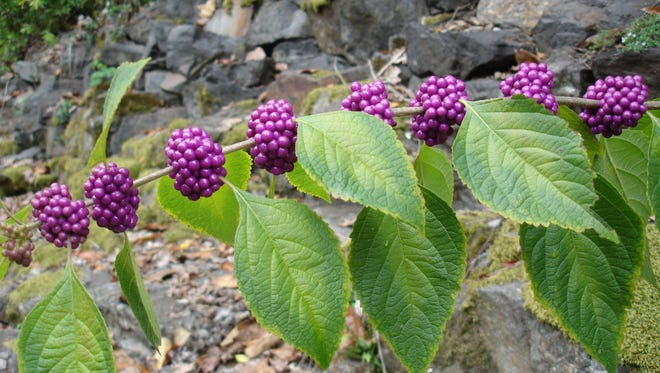 American beautyberry (Callicarpa americana) is an eye catching, 4-8' tall multi-stemmed shrub, that can take full sun and dry, acidic soils. Pale green foliage emerges in spring, followed by lavender-pink flowers in June. By autumn, the flowers mature into masses of violet to magenta berry-like fruit clusters.