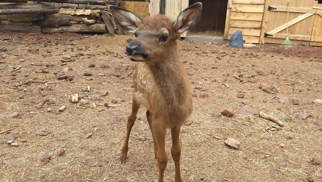 A month after her catastrophic birth via an auto accident that killed her mother, Lucky the elk is doing well under the watchful eye of wildlife experts at Bearizona in Williams.