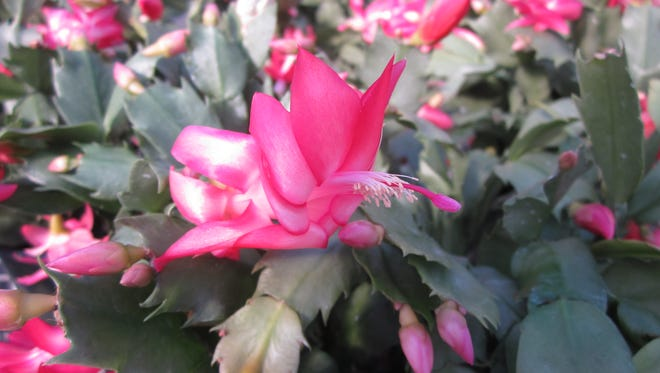 Beautiful, full poinsettias and Christmas cactus for sale
