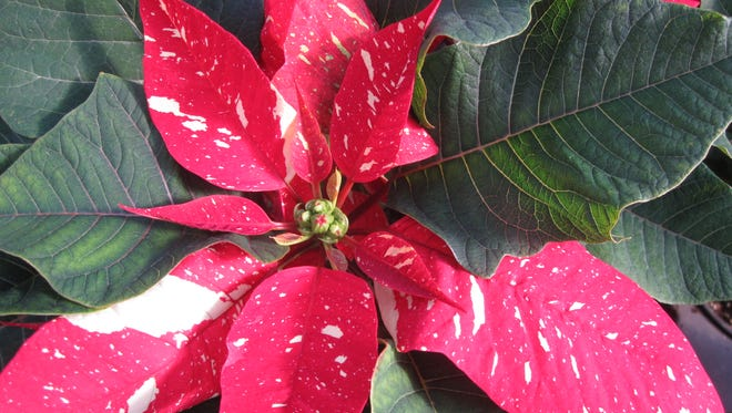 Beautiful Poinsettias for sale in our Christmas Shop