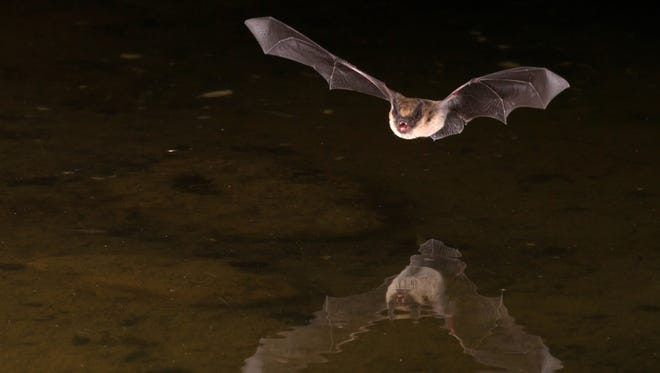 BATS ARE PESTS: They are not. Since most bats eat bugs, they are a natural, efficient means of pest control. One bat can eat thousands of mosquito-sized bugs in one night.