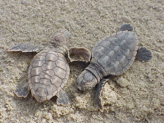 Loggerhead-sea-turtle-hatchlings.jpg