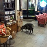 A goat wandered into a Starbucks in the Northern California town Sunday. Rohnert Park police Sgt. Rick Bates said employees who were opening the store tried to give the goat a banana, but the animal kept walking into the coffee shop and started chewing on a box.