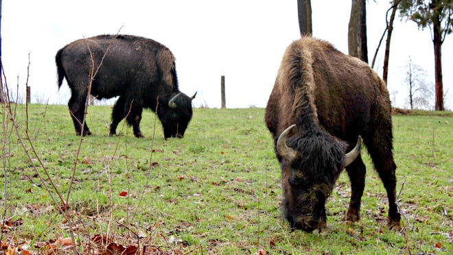 Duff and Divot, two juvenile bison, now have a home at The Golf Club at Stonelick Hills in Clermont County.