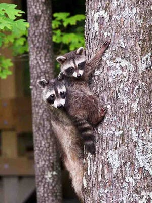 These raccoons were photographed in Timberland Park, off the Natchez Trace.