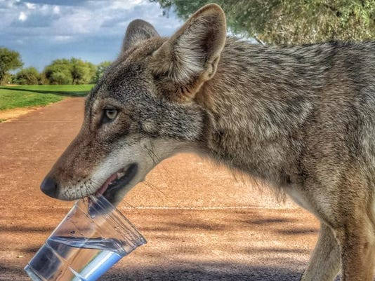 Golf course coyote