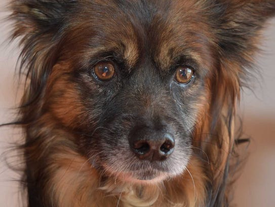 Kujo - Male (neutered) spaniel mix, about 7 years old.