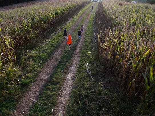 Visitors to Ramsey's Farm walk along corn rows on a