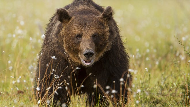 A man in a rural area of Virginia Beach hit and killed a bear Thursday morning. He was able to keep the carcass because he already had license for a kill.