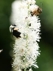 The flower of a black cohosh plant. Pollinating insects crawl atop it.