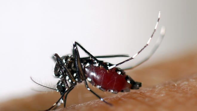 An Aedes albopictus or Asian Tiger Mosquito, spreads dengue fever, the world's fastest growing mosquito-borne disease.