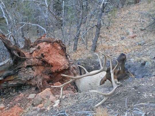 This 700-pound bull elk slid into a pit created by a large uprooted tree.