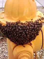 Bee swarm on a fire hydrant.