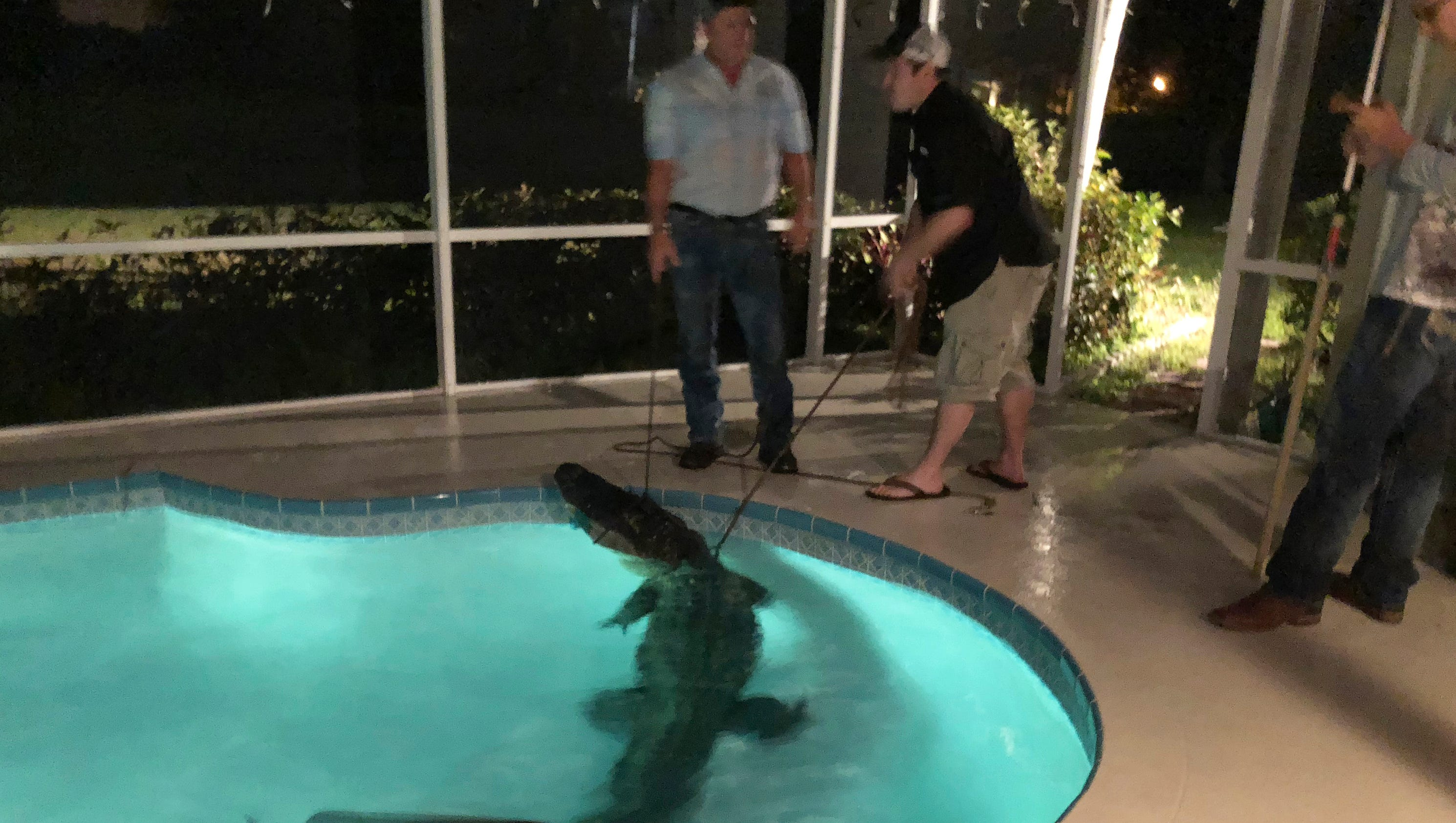 Alligator found in backyard pool in florida as reptiles warm to spring for Public swimming pools in naples florida
