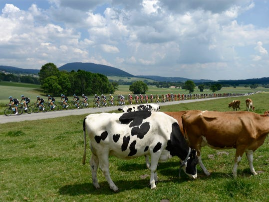The pack  passes cows during the 6th stage, a 192.8 km race, from Bueren an der Aare to Delemont, at the 78th Tour de Suisse UCI ProTour cycling race, in Chaumont, Switzerland, Thursday, June 19, 2014.  (AP Photo/Keystone,Jean-Christophe Bott)