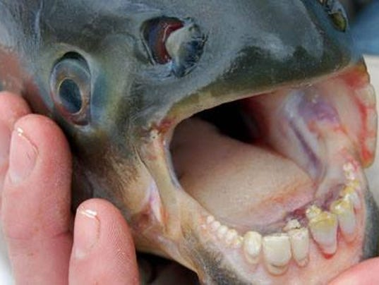 Pacu fish with human like teeth is causing problems in arizona for What time will the fish bite today