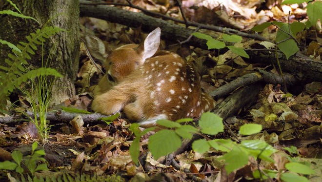 This fawn isn't abandoned, its mother makes it a habit to stay away to prevent attracting predators to her. She will nurse the fawn 3-4 times a day. People who encounter young wildlife are encouraged to keep their distance and move on.