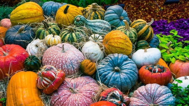 There are more than 140 different varieties of pumpkins in all shapes, sizes and colors.