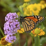 Grow plants in a variety of sizes and colors. Some butterflies desire a variety of species. They are attracted to red, orange, yellow and purple.