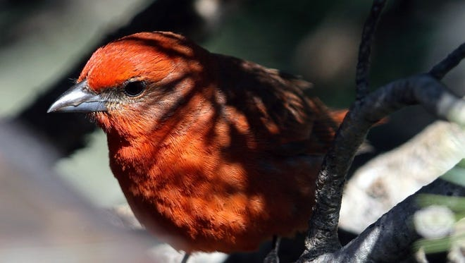 The Hepatic Tanager is a bird of the pine-oak forests of the southwestern mountains...