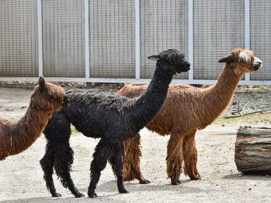 From left.  Frank, 2, Lola, 2, and Mac, 8, three new Suri Alpaca at Potter Park Zoo in Lansing.  Suri Alpaca are members of the camelid family,  and are found in South America. They are bred primarily for their wool.