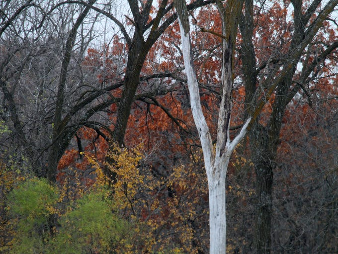 A dead tree offers a skeletal contrast to the fall