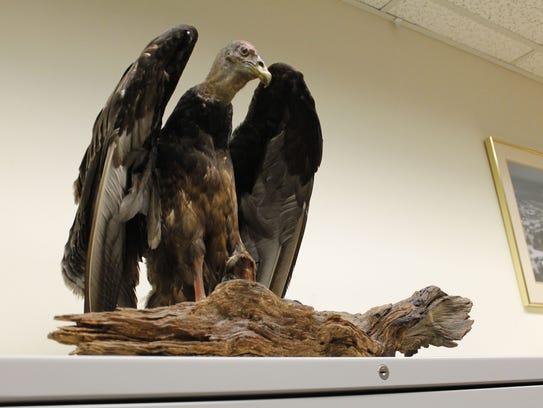 Vincent the Vulture