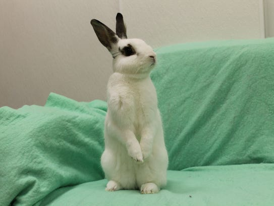 Timmy is a 3-year-old Hotot rabbit. He came to HAWS