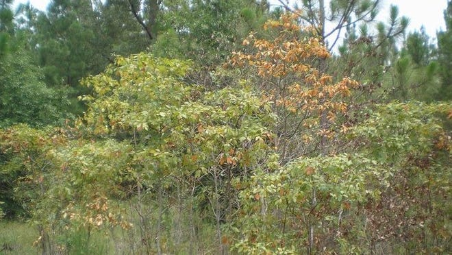 Laurel wilt causes sassafras leaves to wilt, turn brown, and drop in mid to late summer.