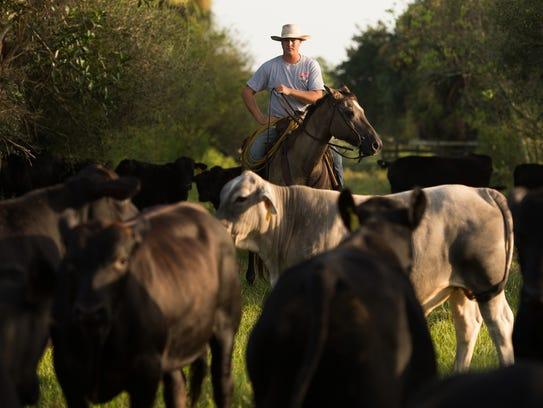 Treasure Hammock Ranch foreman Mike Sexton herds cattle
