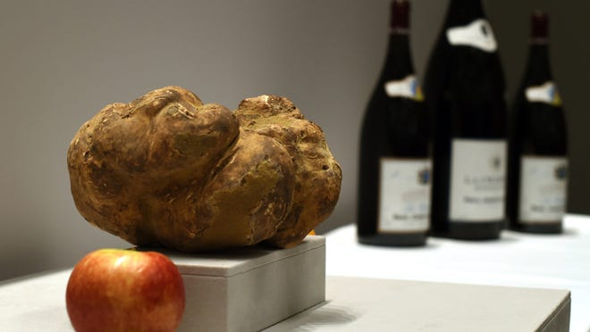 The largest white truffle in the world on display at Sotheby's New York on December 5, 2014. Truffles often cost hundreds of dollars per gram.