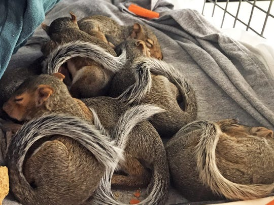 Nap time for orphaned grey squirrels at St. Francis