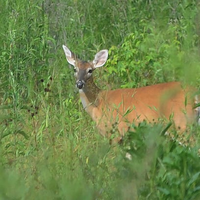 Culling inferior bucks does little if anything to improve