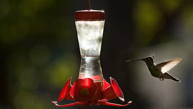 A hummingbird hovers in front of a hummingbird feeder in Portal.