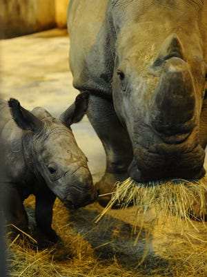 Shango,  baby white rhinoceros is pictured next to its mother at the zoological park of the eastern French city of Amneville, eastern France, on Dec. 11, 2014.