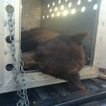 Raw Video: Officials release bear found in Mesa