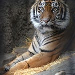 Baha, a 15-year-old tiger at the Sacramento Zoo, died on February 10 in California.