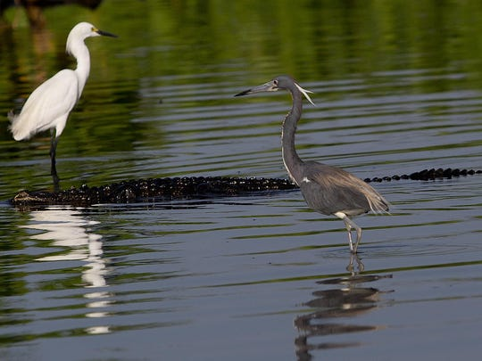 An alligator slides in between a tri-colored heron and a snowy egret on Lake Trafford, which is rebounding.