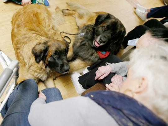 Ripley and Augie, two Leonberger dogs, visit with residents at Seneca View in Montour Falls on Friday. Ripley recently competed at the Westminster Kennel Club Dog Show in New York City.