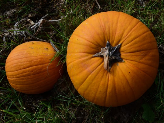 Pumpkins are available at Cedar Grove Farm Store 1120 Ritner Highway, Shippensburg. Most local farmers are praising the rains this season, but Alex Surcica's pumpkins are coming in bigger than the jack-o-lantern market calls for.