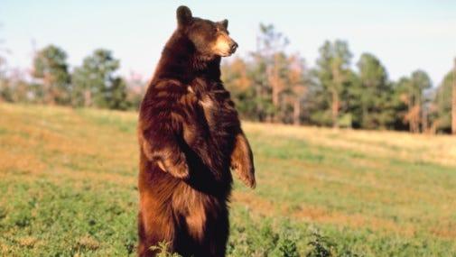 Black bear standing in field