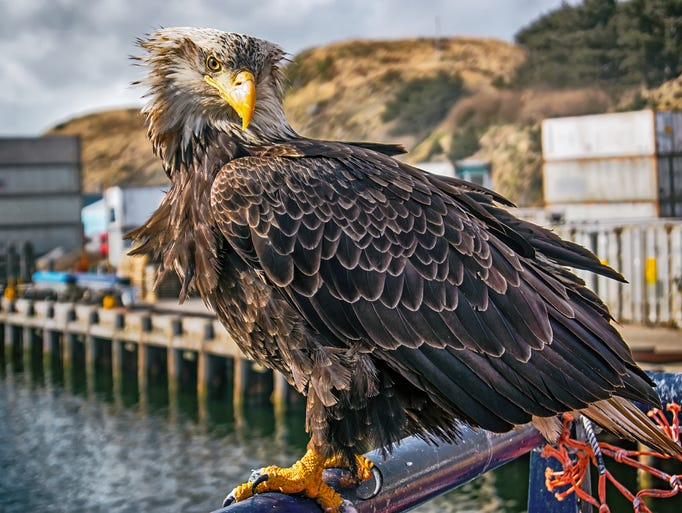 A bald eagle waits for scraps on a fishing boat in
