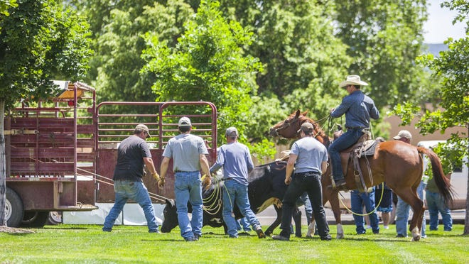 Cowboys load a cow into a trailer on the campus of Southern Utah University on Friday.
