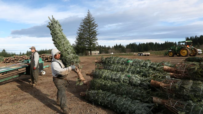 Gerald Beard, left, and Alberto Valdez bale and sort Christmas trees on Tuesday, Nov. 22, 2016, at Hupp Farms in the Silverton area.