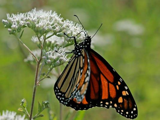 monarch17p1